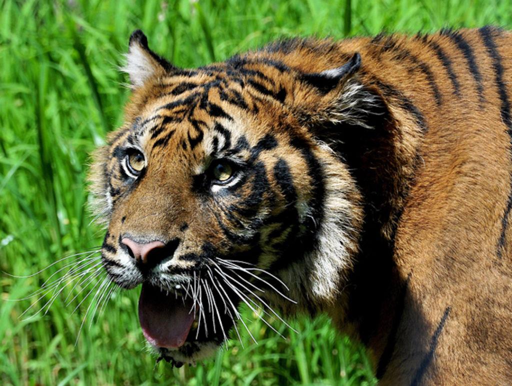 Tigre de Sumatra au zoo Bioparco situé dans la Villa Borghese de Rome